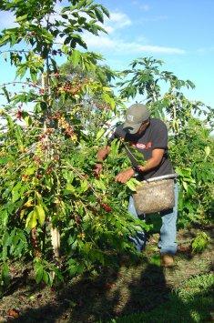 Récolte du café
