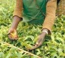 Récolte manuelle de Thé
