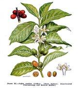 Planche Coffea Arabica