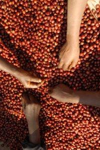 Tri manuel des cerises de café