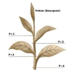 Shema théier-pekoe et ses feuilles